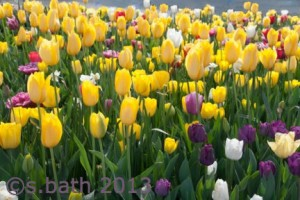 photo of tulips at Floriade