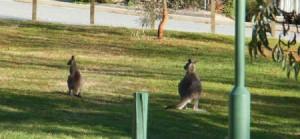 Greenhills kangaroos