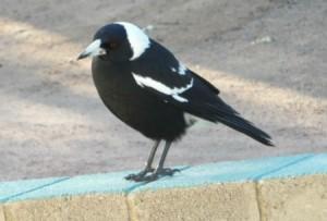 Greenhills magpie